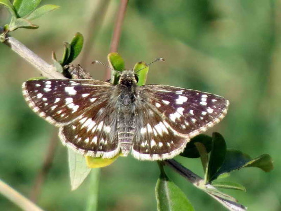 Ajedrezada menor/Argentine Checkered Skipper