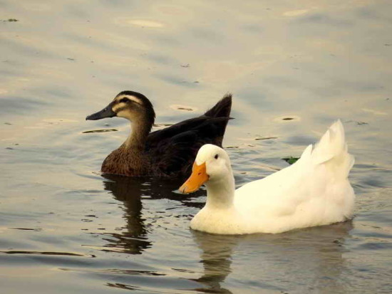Ánade real dom/Dom Mallard Duck