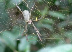 Araña seda de oro/Golden Silk Orbweaver