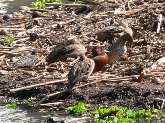 Barcinos y colorado/Yellow-billed Teals and Cinnamon Teal