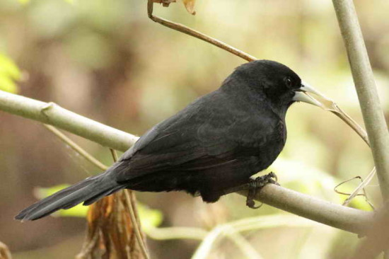Boyero/Solitary Black Cacique