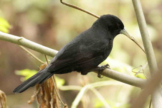 Boyero/Solitary Black Cacique
