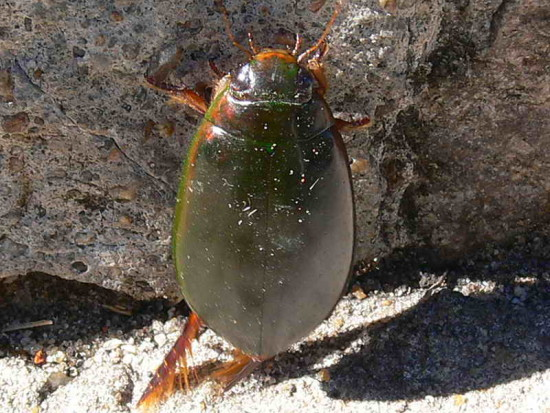 Cascarudo buceador/Large Diving Beetle