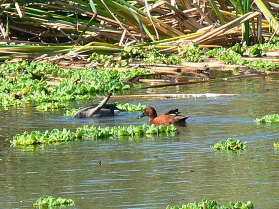 Picazo y colorado/Rosy-billed Pochard and Cinnamon Teal