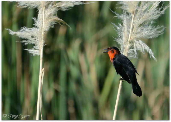 Federal J/ Scarlet-headed Blackbird J