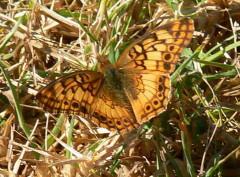 Hortensia/Southern Fritillary