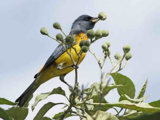 Naranjero M/Blu-and-yellow Tanager M