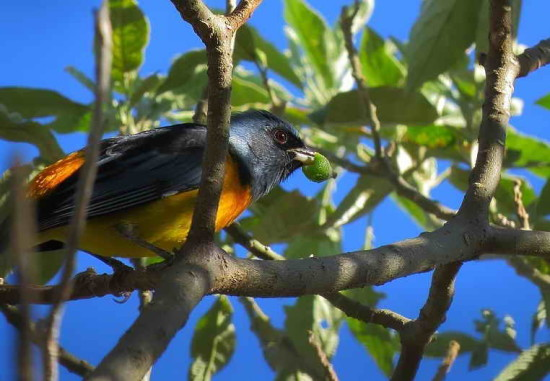 Naranjero M/Blue-and yellow Tanager M