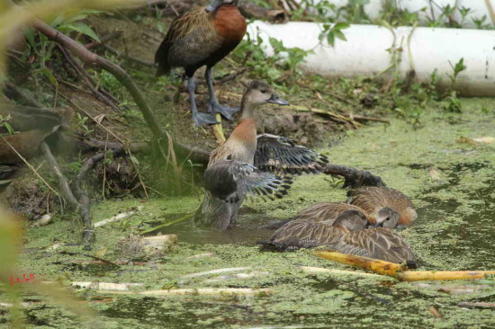 Sirirí pampa/White-face Whistling-Duck