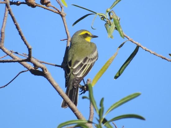 Suirirí amarillo/Yellow-browed Tyrant
