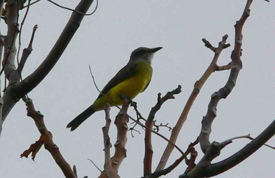 Suirirí real/Tropical Kingfisher