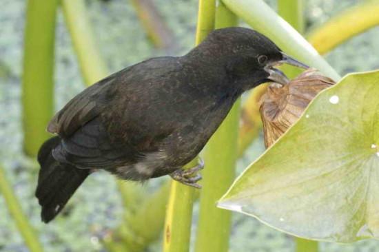 Varillero negro/Unicoloured Blackbird