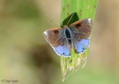 Frotadora enana/Eurytulus Scrub-Hairstreak