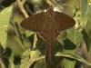 Rabuda simple/Plain Longtail