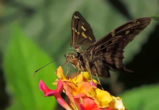 Rabuda verde común/Long-tailed Skipper