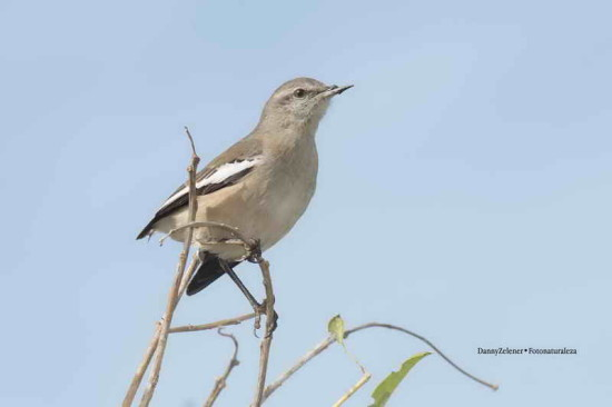 Calandria real/White-banded Mocking-bird