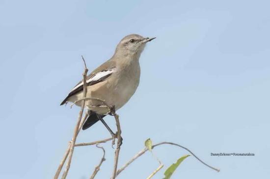 Calandria real/White-banded Mocking-bird