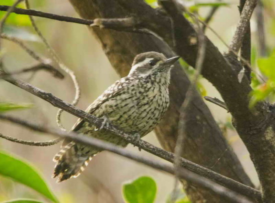 Carpintero bataraz chico H/Checkered Woodpecker F