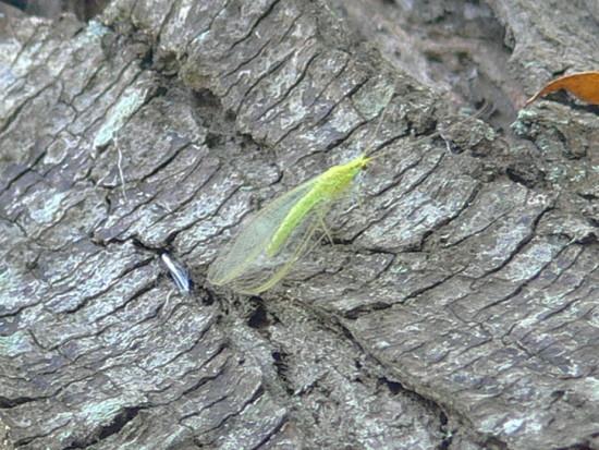 Ala de encaje verde/Green Lacewings