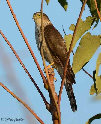 Esparvero común/Sharp-shinned Hawk