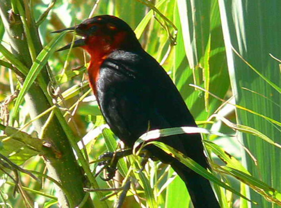 Federal J/Scarlet-headed Blackbird J