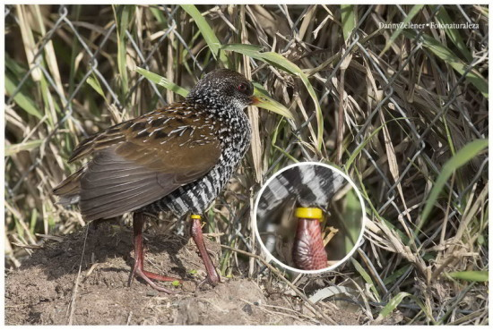 Gallineta overa/ Spotted Rail