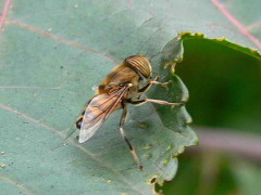 Mosca tigre/Band-eyed drone fly