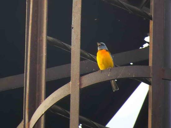 Naranjero M/Blue-and-yellow Tanager
