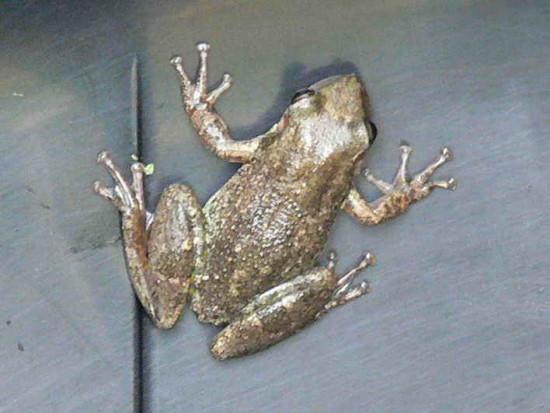 Rana roncadora/Snoring frog