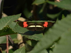 Almendra común/Banded Longwing