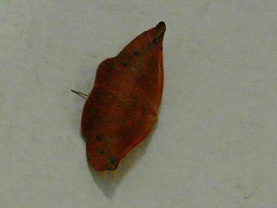 Flia Geometridae
