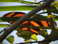 Antorcha rayada/Banded Orange