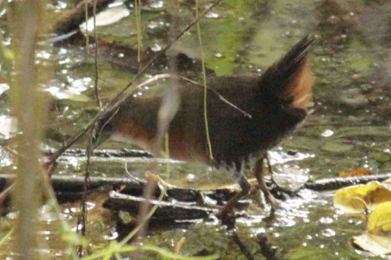 Burrito colorado/Rufous-sided Crake
