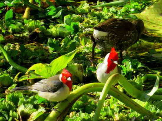 Cardenal y pollona pintada/Red-crested C. and Rufous-sided Crake