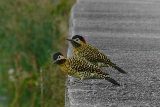 Carpintero real P/Green-barred Woodpecker P