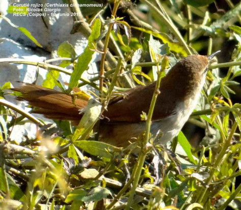 Curutié colorado/Yellow-chinned Spinetail