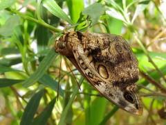 Duende de la sombra/Lowland Owlet