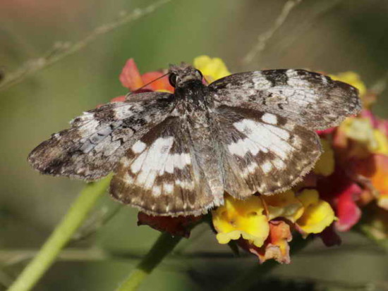 Emparchada/White-patched Duskywing