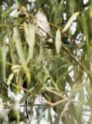Esparvero común/Sharp-shinned Hawk