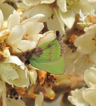 Frotadora esmeralda coluda/Remus Greenstreak
