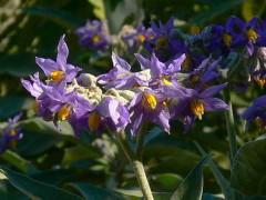 Fumo bravo/Solanum granuloso-leprosum