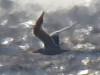 Gaviotín real/Royal Tern