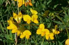 Lotus glaber/Narrowleaf trefoil