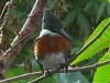 Martín pescador chico/Green Kingfisher
