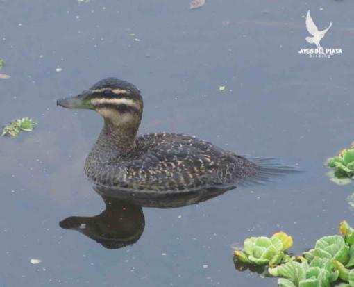 Pato fierro H/Masked Duck F