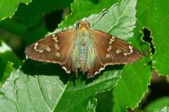 Rabuda verde común/Long-tailed Skipper