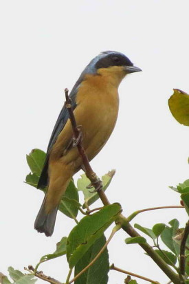 Saira de antifaz/Fawn-breasted Tanager