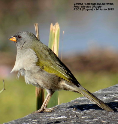 Verdón/Great Pampa-Finch