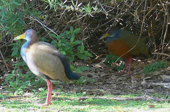 Ipacaá-chiricote/Giant and Grey-necked Wood-Rails