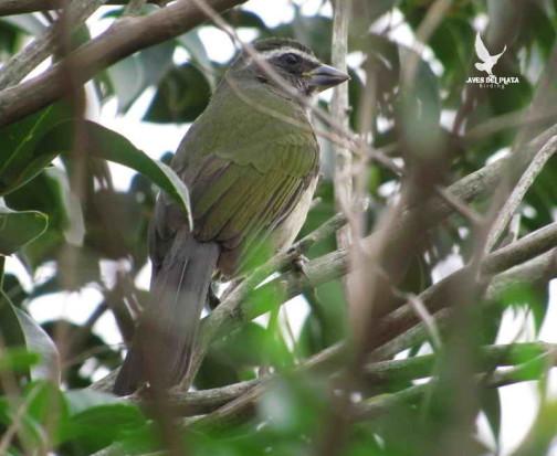 Pepitero verdoso/Green-winged Saltator